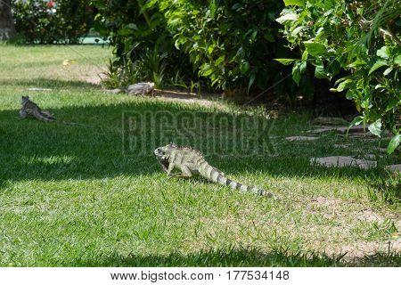 Iguana In The Garden - Praia Dos Carneiros, Pernambuco, Brazil