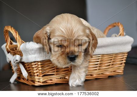 Puppy of an American cocker spaniel in a basket on a table