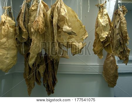 Dried Tobacco leaves hanging in a closet air curing