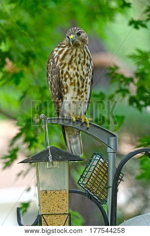 Broad-winged Hawk Sitting on a Backyard Bird Feeder