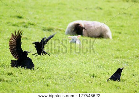 Ravens fight on a sheep farm in rural Devon England