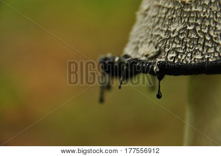 Fruiting bodies of the fungus aspergillus. Bialowieza Forest primary forest.