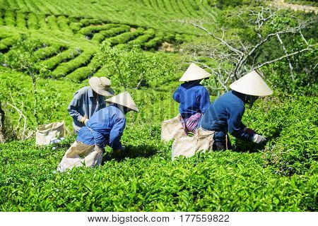 Tea Pickers In Traditional Hats Collecting Tea Leaves
