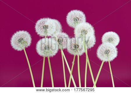 Dandelion flower on magenta color background, group objects on blank space backdrop, nature and spring season concept.