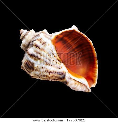 Sea shell. Nautilus shell section on black background.