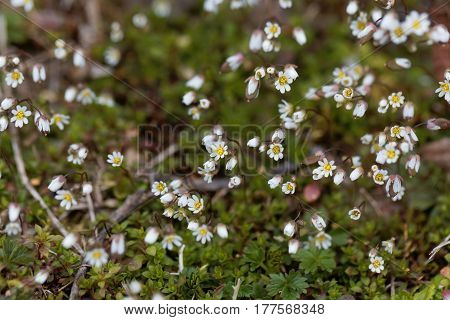 Flowers of spring draba (Draba verna) a small early spring flower.