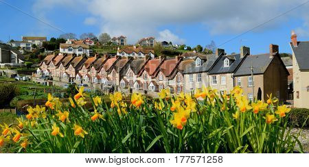 Spring flowers daffodils with Fisherman's Cottages in Common Lane in village of Beer Devon