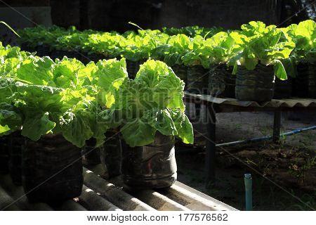Small scale Lettuce farm in AA. Mathiveri in Maldives.