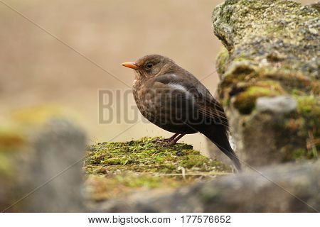 Bird from passerine class. Sparrow on the stone in the spring.(disambiguation)