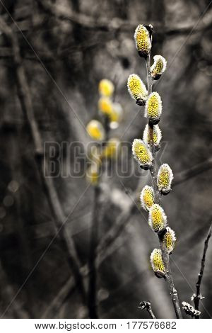 Goat wilow ( Salix caprea L.) Black and white flower. Spring is become. Spring begins. Spring Blossoms. Pussy willow or great sallow. deciduous shrub or small tree
