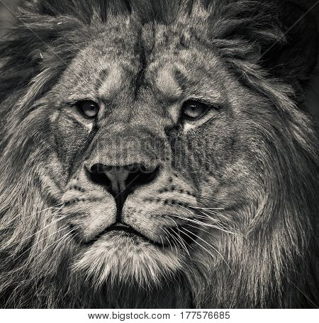 Lion black and white. King of beasts in wild nature.