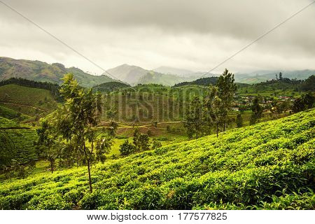 Tea plantations in Munnar, Kerala with cloudy sky and Western Ghats mountain range at the background. Green forest during the day