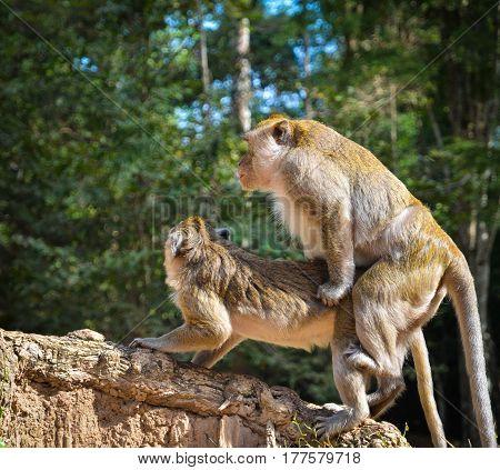 Siem Reap, Cambodia - Circa December 2011 - A shot of monkeys having sex in the park