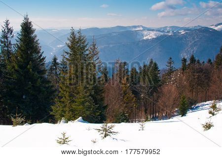Hill Covered In Snow And Forest With Evergreen Spruce Trees
