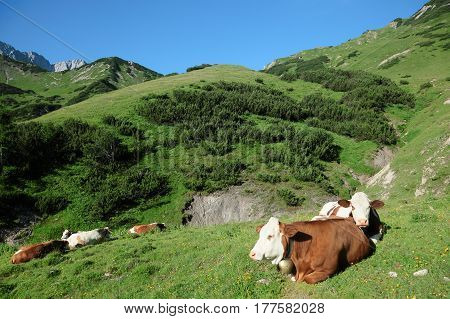 some lazy cows on a field in the mountains