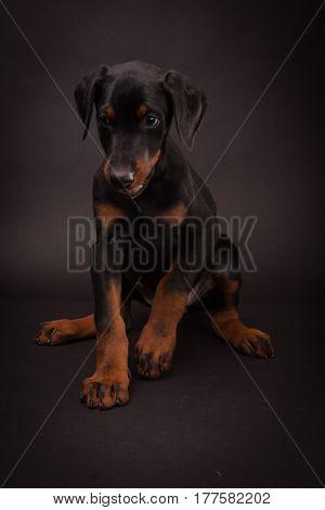 Doberman pinscher (Dobie) puppy in a studio setting