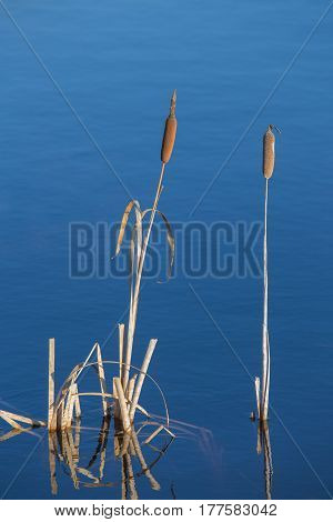 Cattail against the background of blue water in springtime