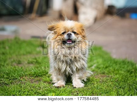 Funny red-haired pekingese dog look in camera with open mouth