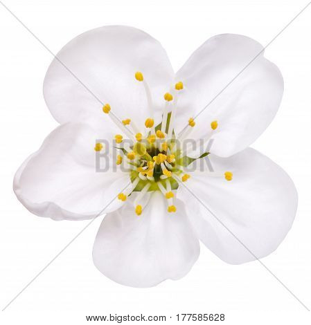 spring flower apple blossoms bloomed isolated on white, way in path