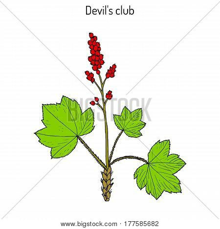 Devil s club or walking stick Oplopanax horridus medicinal plant. Hand drawn botanical vector illustration