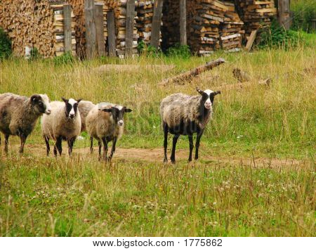 A Small Flock Of Sheep