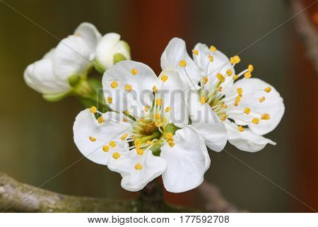 spring flower plum blossoms bloomed beautifully on a tree branch