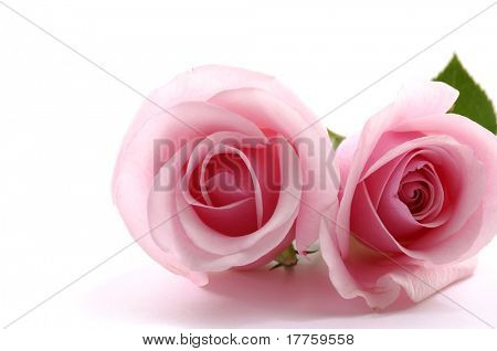 Close up of two pink roses
