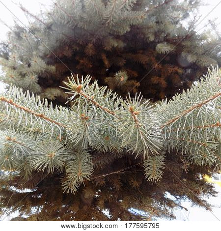Blue spruce and spruce branches in the winter day