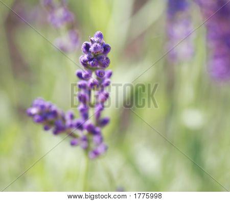 Lavender In A Garden
