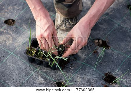 Man Transplanting Leek Shoots Form A Tray