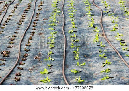 Rows Of Red And Green Leaf Lettuce