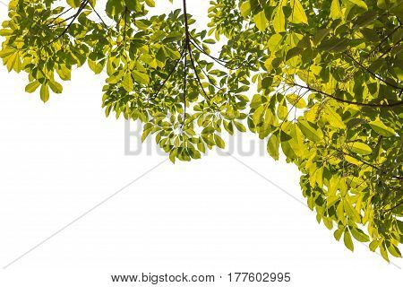 Green Leafs Foreground on white background isolated
