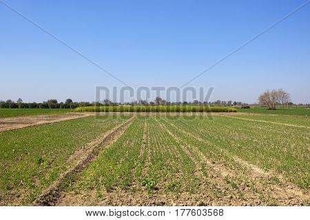 scenic farmland landscape of rajasthan in north india with seedling pea crops and mustard