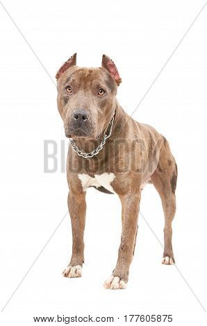 Portrait of a pit bull standing isolated on white background