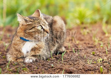 Domestic cat with blue collar lying in the garden and looking to the right. Copy space