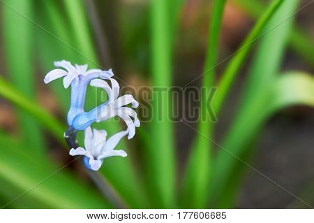 Hyacinth flowers in garden with out of focus background. Copy space