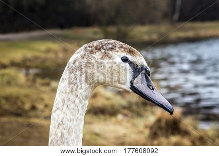 Whooper Swan near the shore of the reservoir in Belarus (Minsk the Minsk sea)