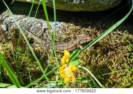 A common lizard basking on a wall.
