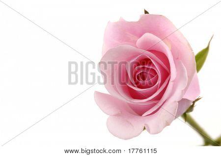 A single rose border