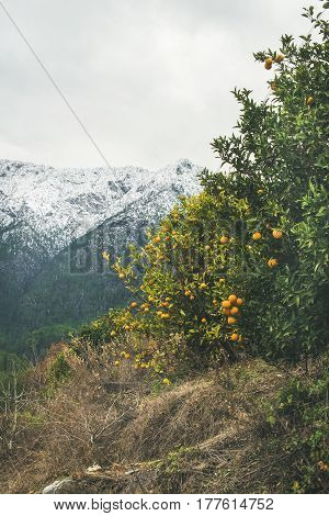 Orange trees with ripe oranges in mountain garden in Dim Cay district of Alanya on gloomy day with snowy range peaks at background, Antalya province, Mediterranean Turkey