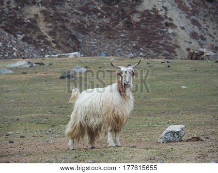 Portrait Of White Goat Standing In A Meadow Background In Pakistan