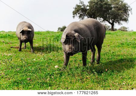 Two spanish iberian pigs looking at camera in a green meadow.