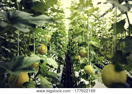 Organic honeydew harvest nature garden