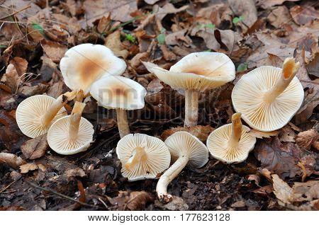 Ivory Woodwax Fungi - Hygrophorus eburneus white mushroom