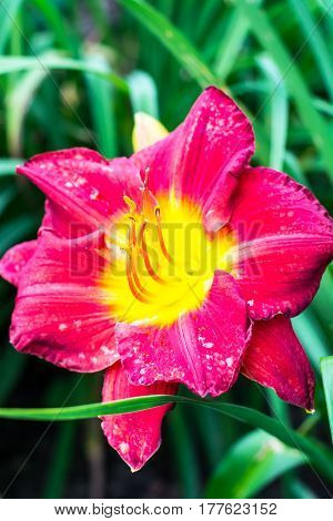 Beautiful daylilies growing in the garden. Studio Photo