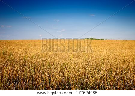 Field with mature grains on a clear sunny day