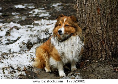 Portrait of a dog. Dog with long red hair sitting near a tree in the dirty snow and looks away.