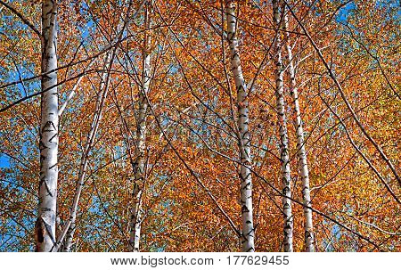 Autumn birch forest against the blue sky. October