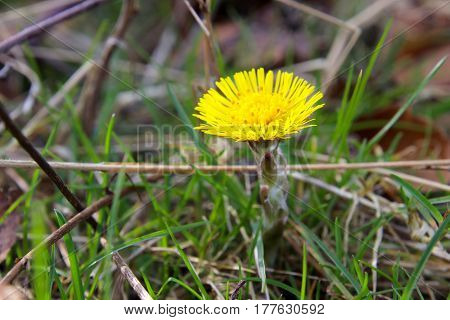 Coltsfoot is preparing for spring in March