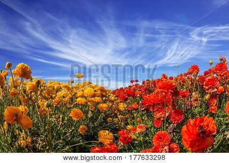 The magnificent blossoming fields of garden buttercups. Light cirrus clouds over the floral splendor. Concept of rural tourism